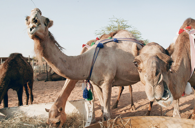 Camels a key part of UAE's rich heritage | Uae – Gulf News