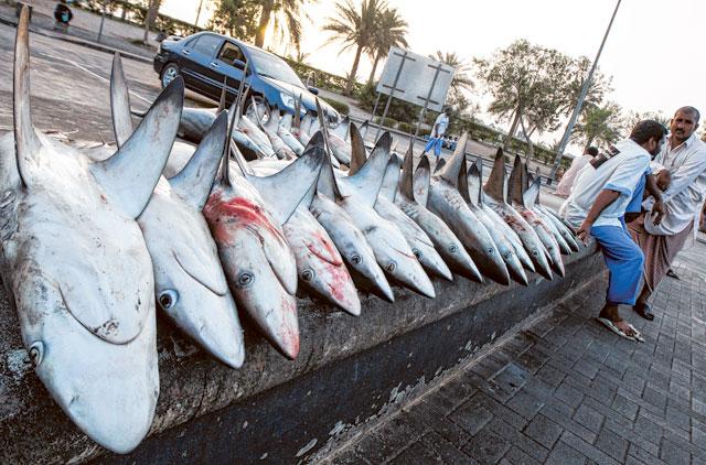 UAE laws aim to prevent shark overfishing