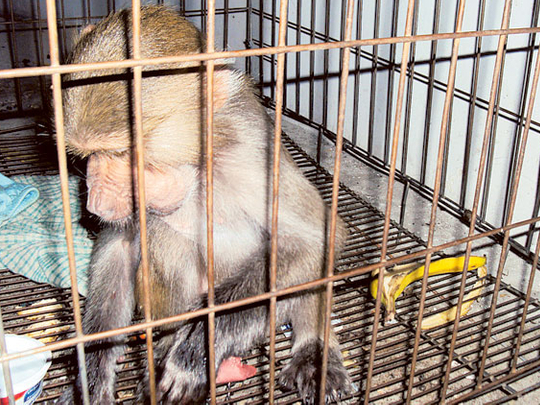 Trying to keep a monkey as a pet is dangerous, residents