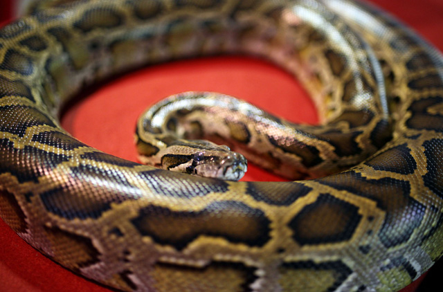 Python strangles two Canadian boys after escape from reptile
