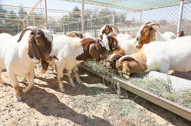 Breeding programme for 3 3m goats and sheep in Abu Dhabi