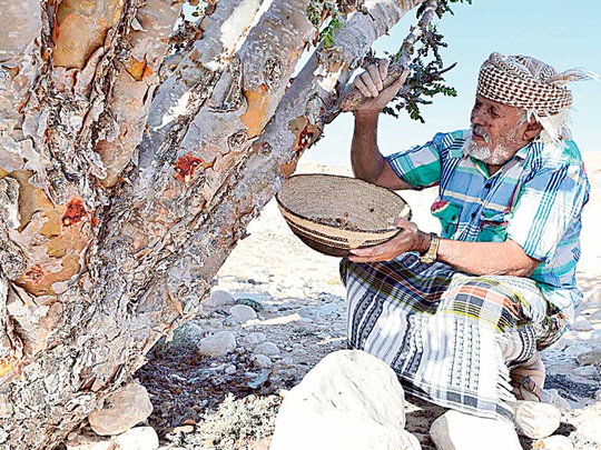Prized Omani Frankincense Trees Under Threat Environment Gulf News