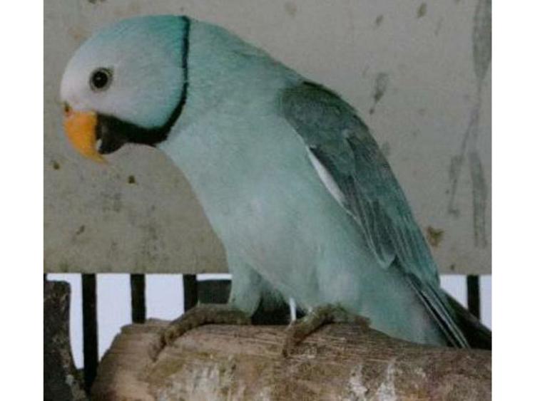 Dubai-based bird breeder's parrot fetches Dh100,000