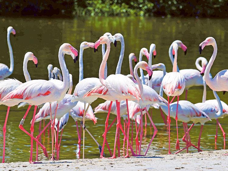 Dubai Longtime Hub For Migrating Birds Environment Gulf News