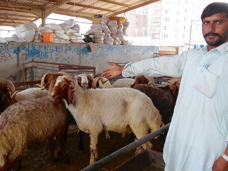 How Indian goats are saving the day for UAE traders | Uae