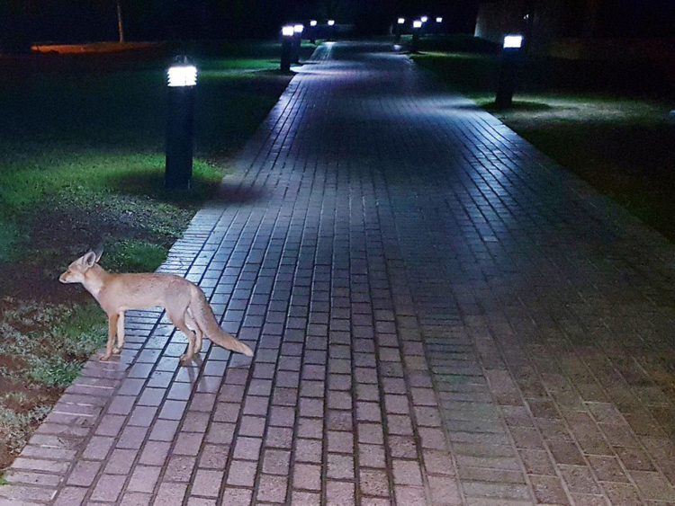 Foxes spotted in The Gardens | Society – Gulf News