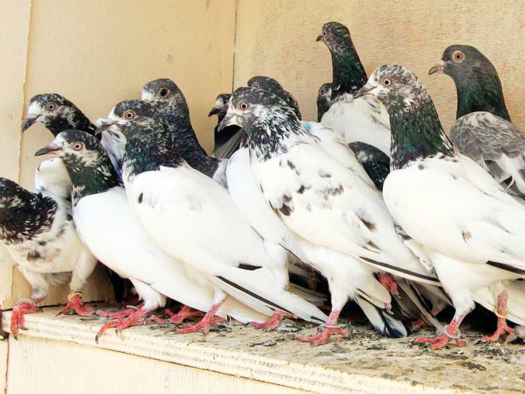 Pigeon droppings vex Dubai residents | Society – Gulf News