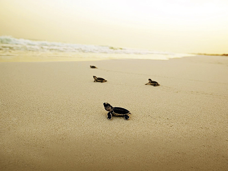 UAE sea turtles at risk of disappearing | Uae – Gulf News