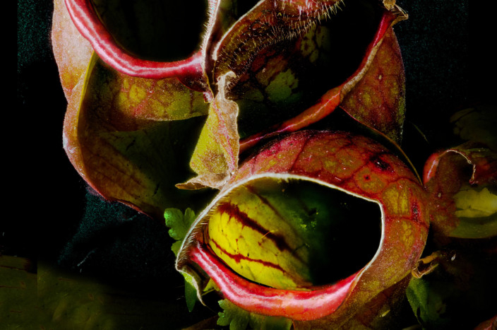 The Savage Beauty Of Carnivorous Plants Science Gulf News