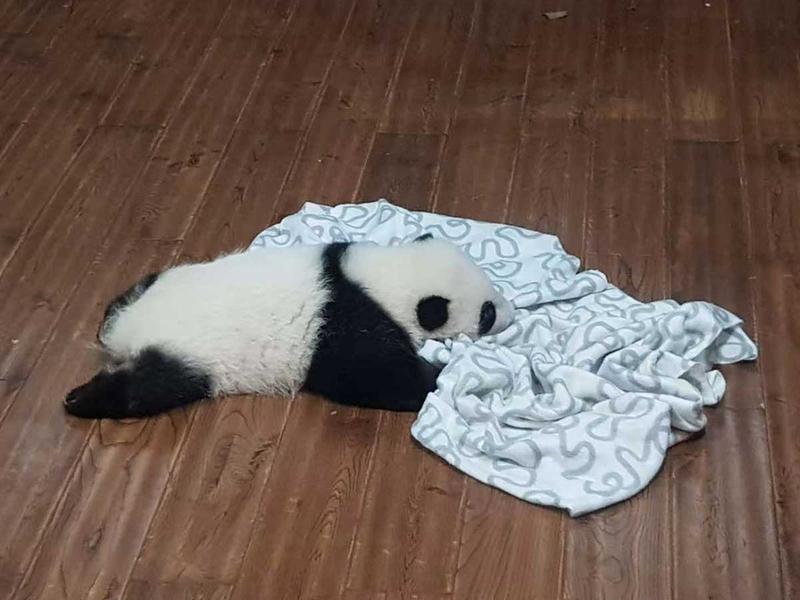 181114 baby panda