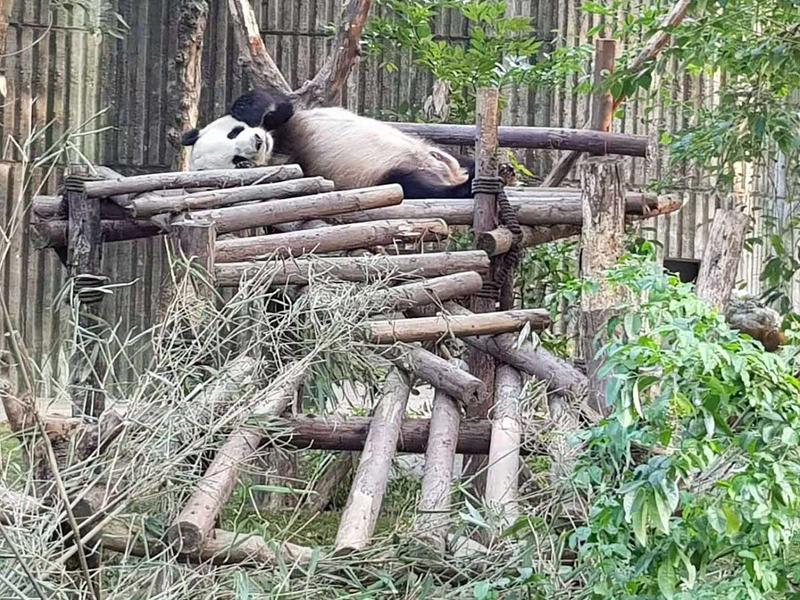 181114 panda china1