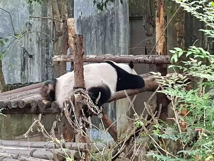 181114 panda chinese 2