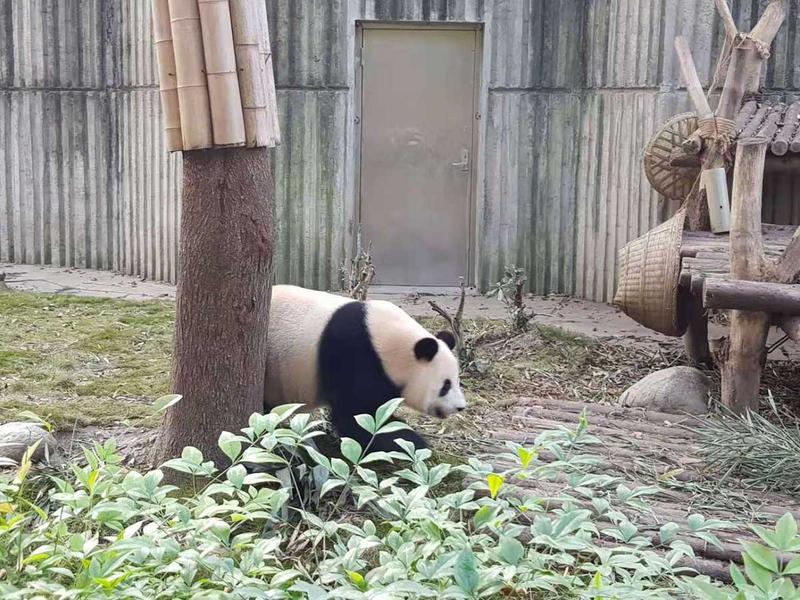 181114 panda chinese 3