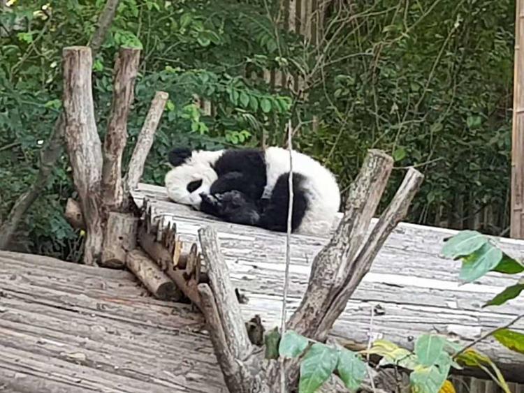 181114 panda chinese 5