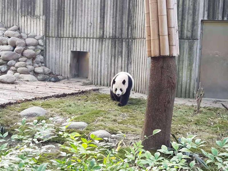 181114 panda chinese 7