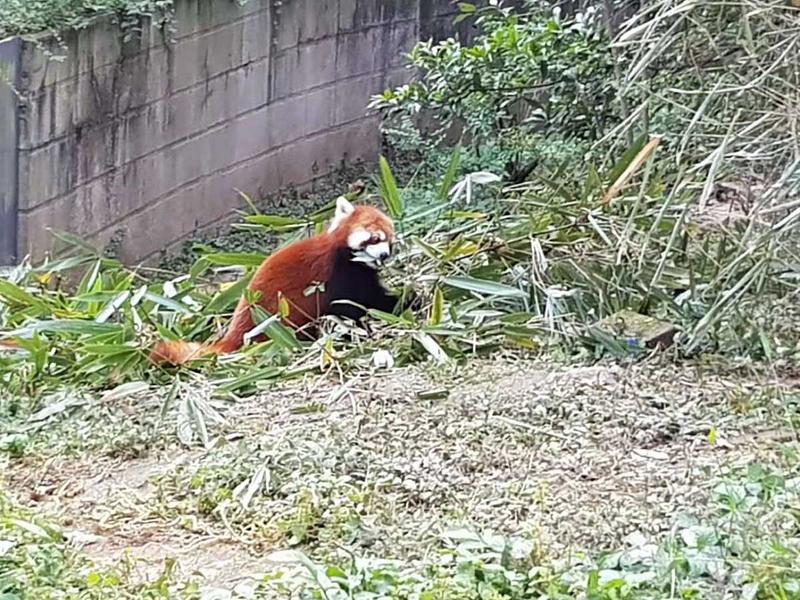 181114 red panda 2