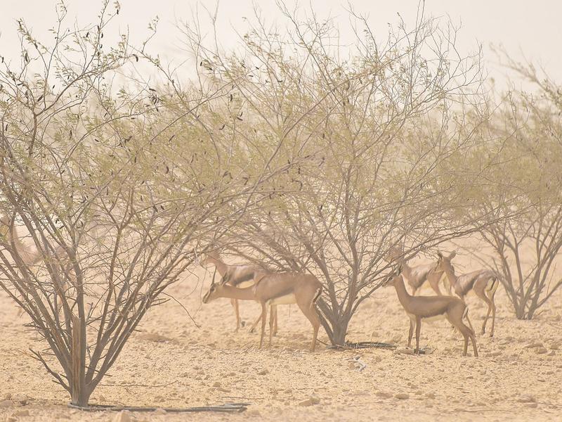 Arabian Gazelles