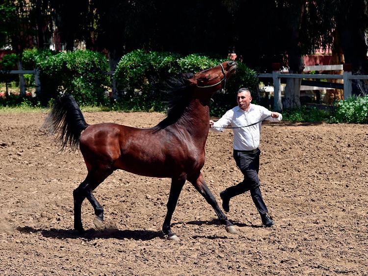 In Algeria, ancient horseshoe craft loses luster