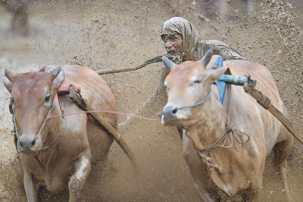 A jockey bites the tail of a bull