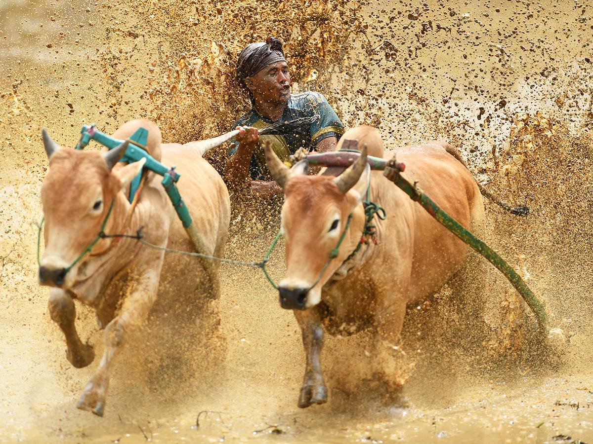 A jockey rides two bulls