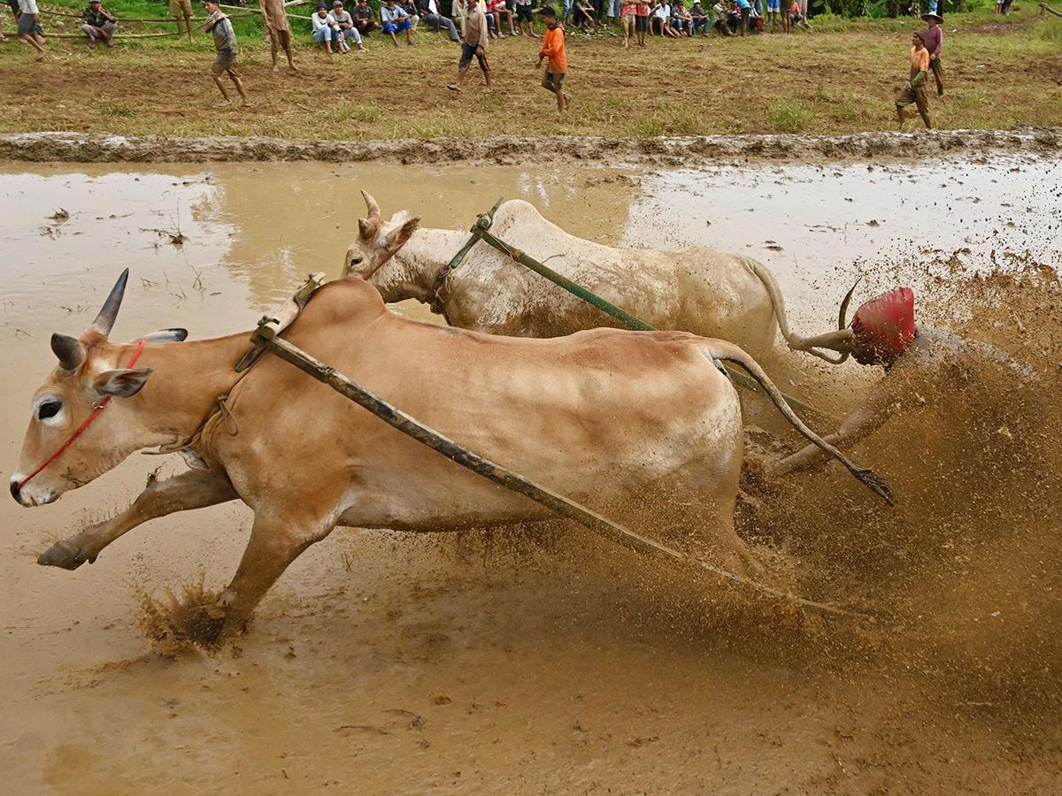 A jockey riding bulls with a cart