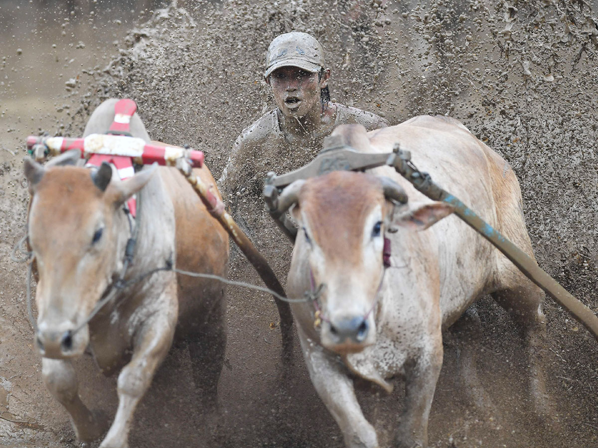 A jockey riding two bulls with a cart 2