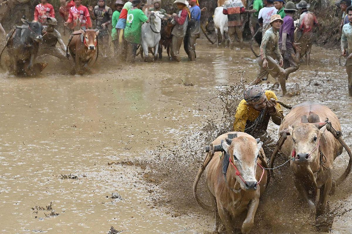 Two jockeys riding bulls 4