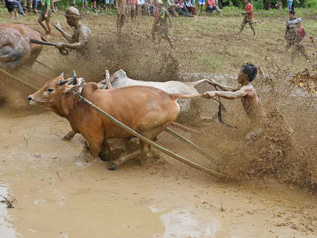 Two jockeys riding bulls during the traditional bull rac