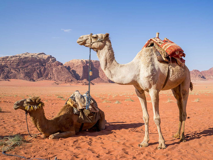 Police solve case of mysterious deaths of camels at Dubai farm