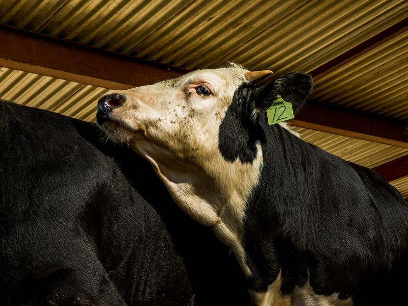 Gene edited farm animals