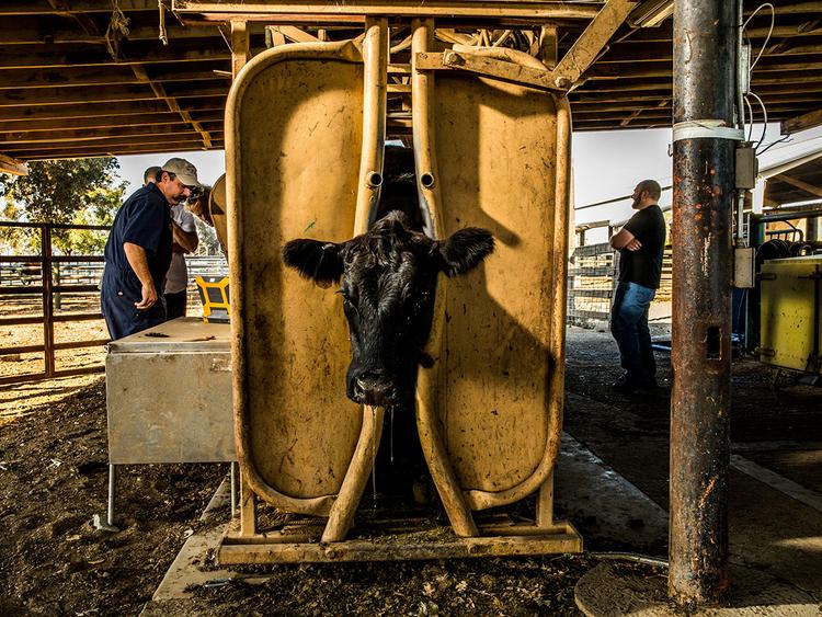 cow california