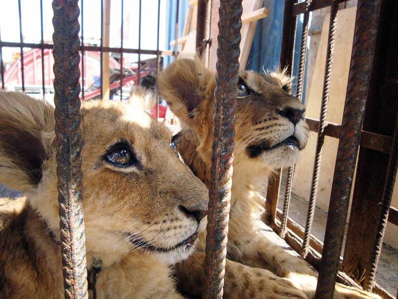 181222 lion cubs