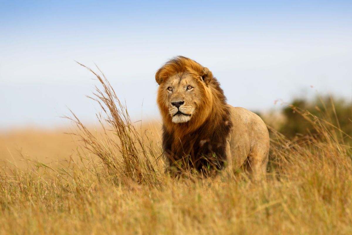 FTC African lion1