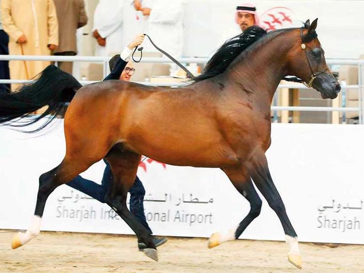 Image result for Arabian horses