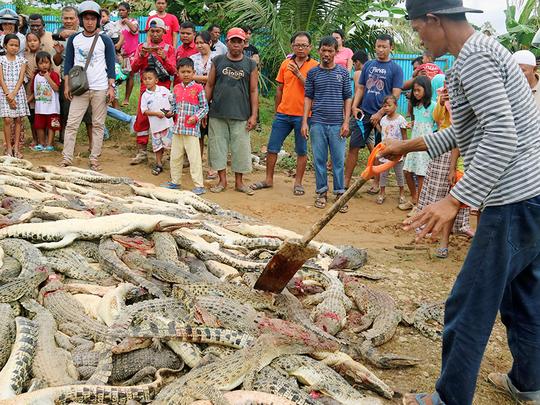 d477e3781010 Indonesian mob butchers hundreds of crocs in revenge attack