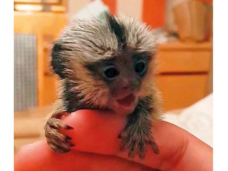 Endangered monkeys for sale on Facebook groups in the UAE