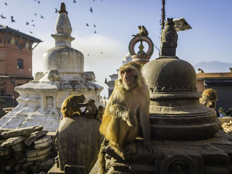 OPN_190110--monkeys-at-any-Indian-temple_P2-(Read-Only)