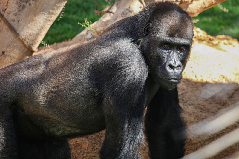 NAT-190116-Gorilla-1-1547650265446