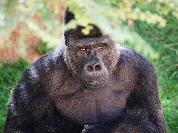 NAT-190116-Gorilla-132-(Read-Only)