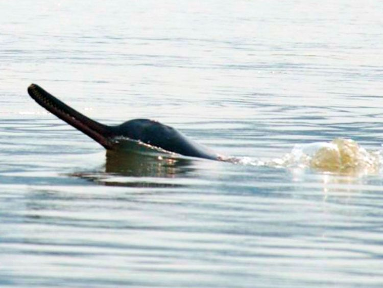 Gangetic river dolphin
