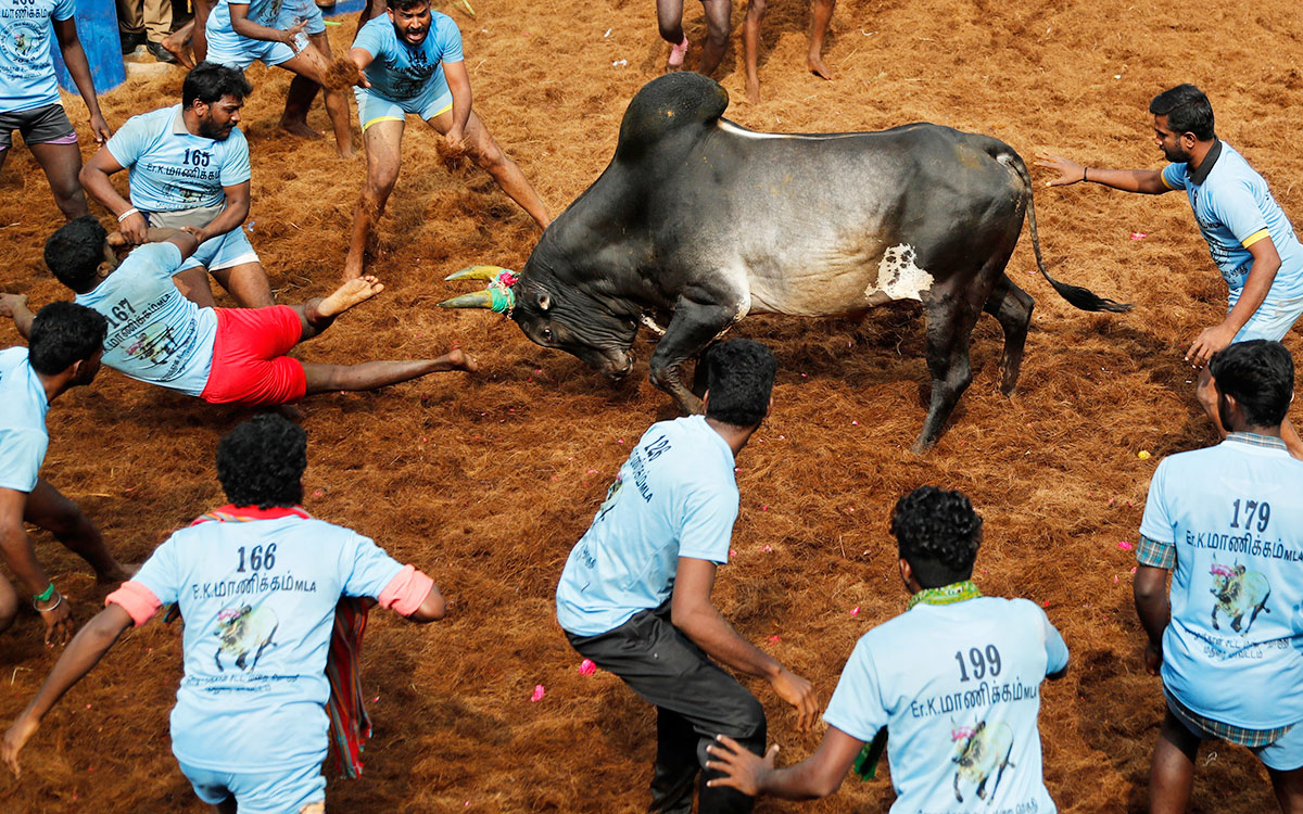 A bull charges towards participants during the Jallikattu bull-taming festival