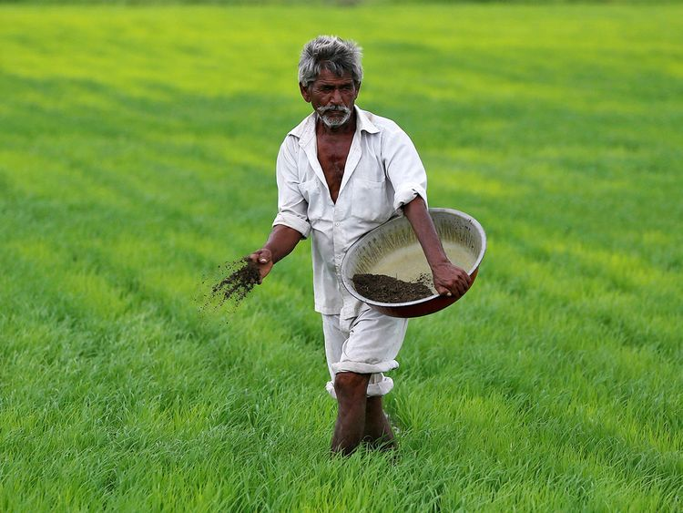 A farmer spreads fertiliser mixed with potash in his paddy field