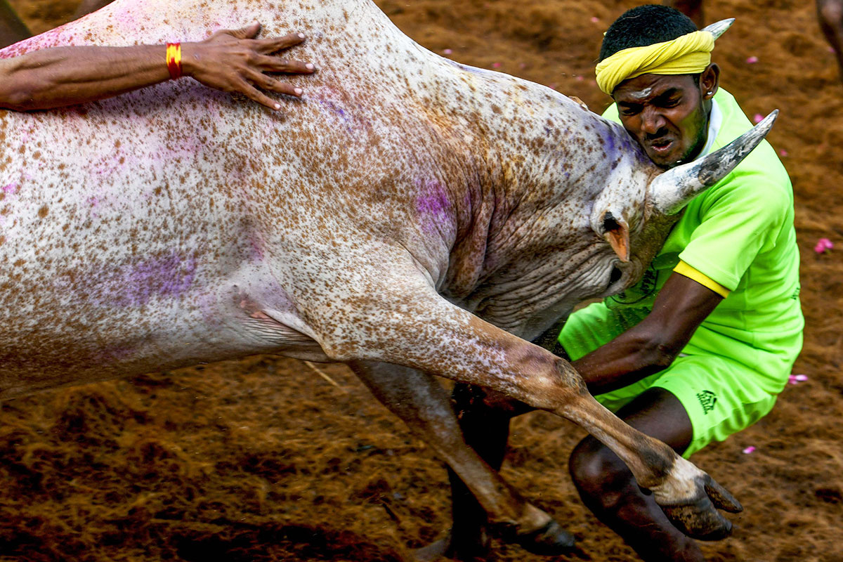 A participant is hit by a charging bull at the annual bull wrestling