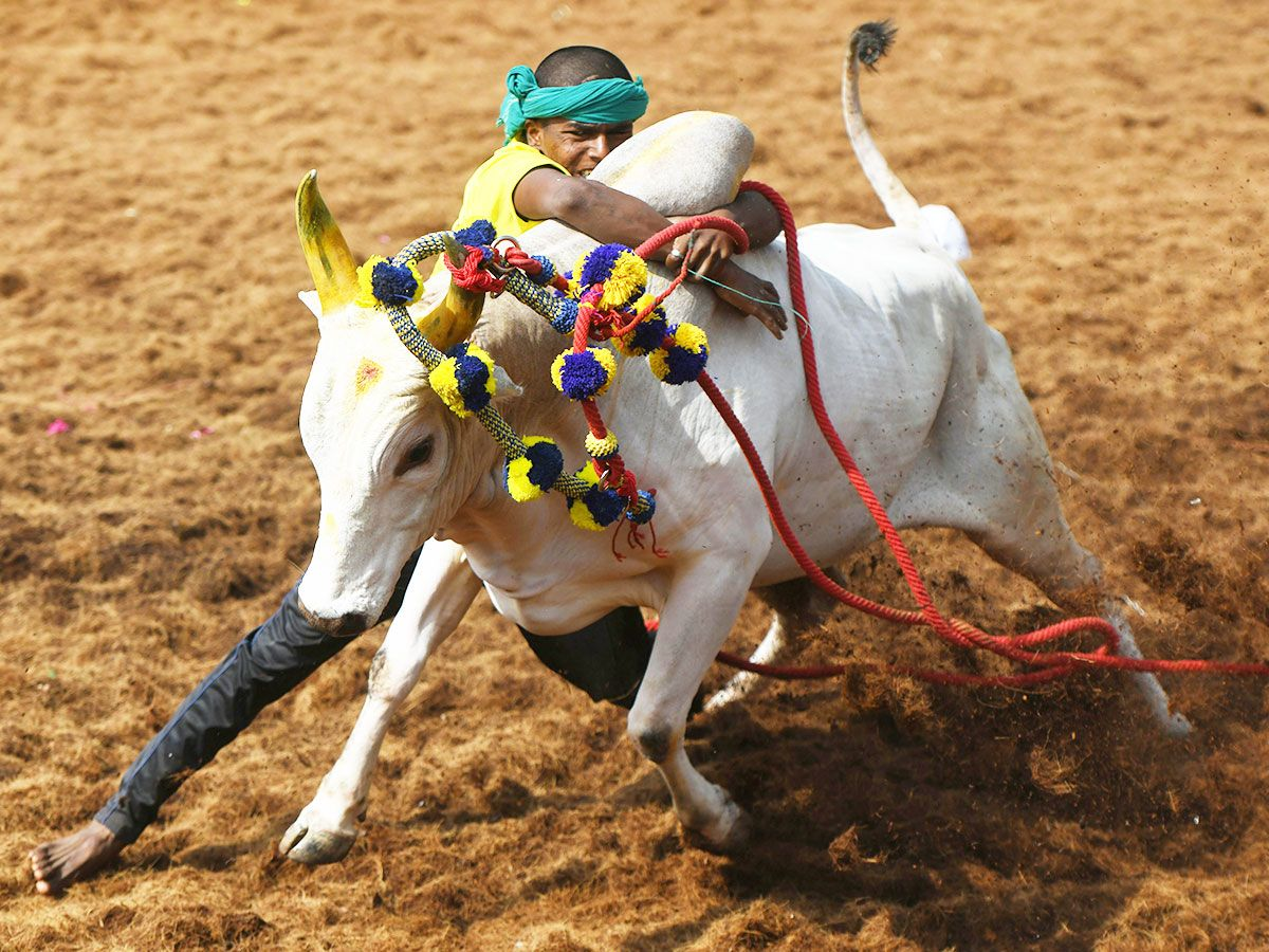 A participant tries to control a bull