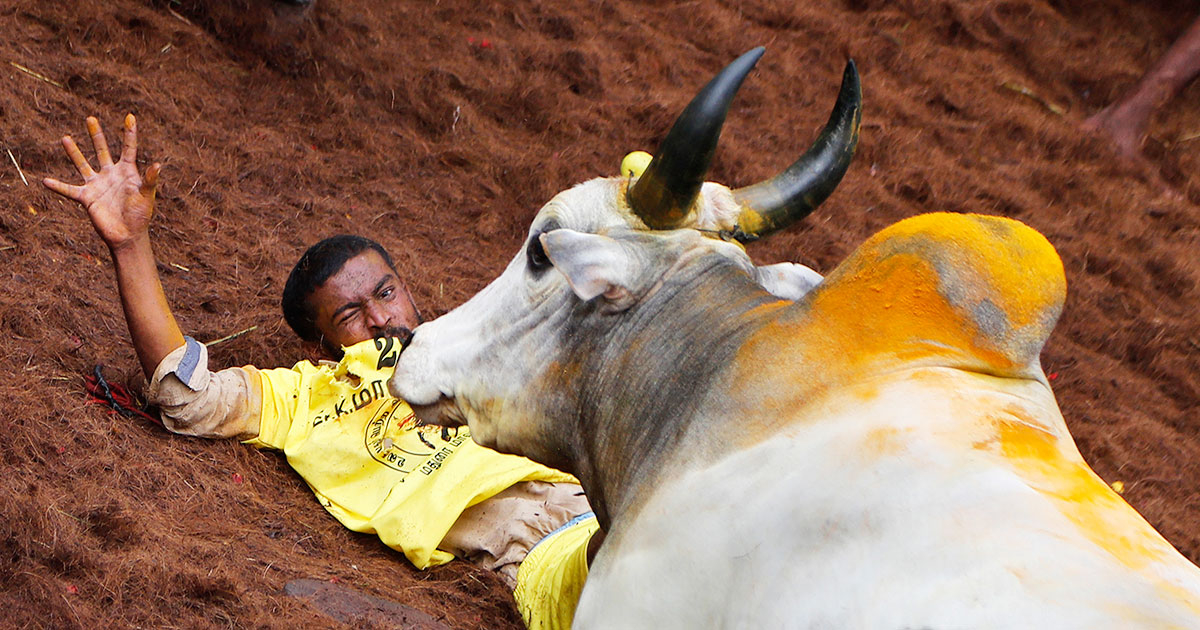 A tamer reacts as a bull charges towards him during the Jallikattu