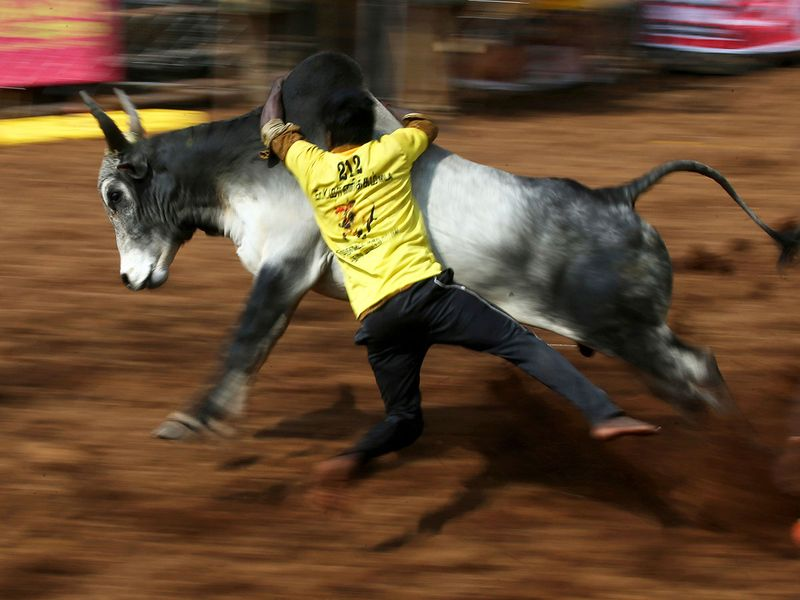 A tamer tries to control a bull during Jallikattu, in Palamedu