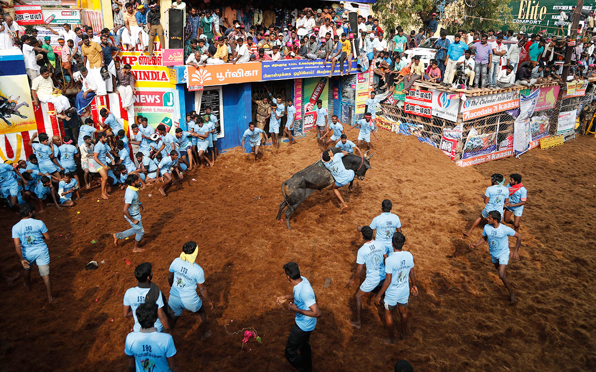 A tamer tries to control a bull during the Jallikattu, in Allanganallur