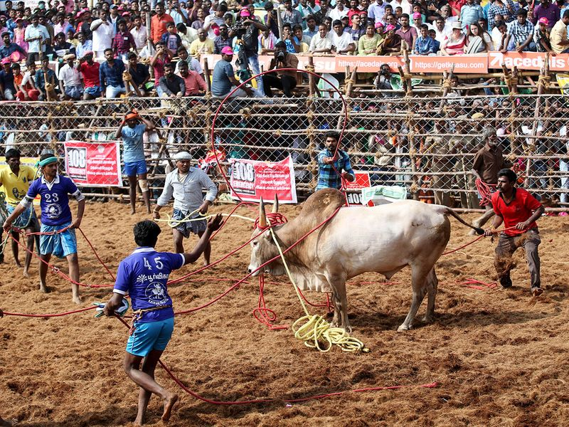 Owners and others use ropes to control a bul