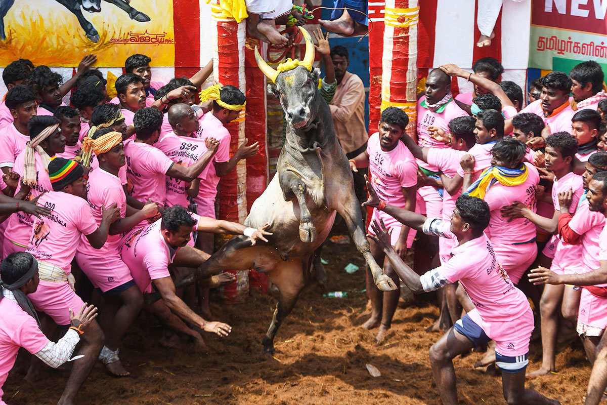 Participants try to control a bull at the annual bull-wrestling event 'Jallikattu'