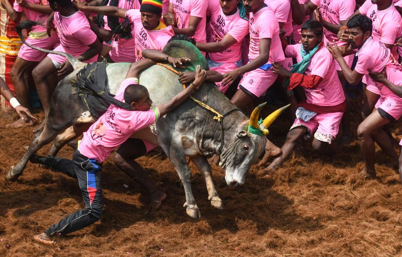Participants try to control a bull during 'Jallikattu' in Allanganallur